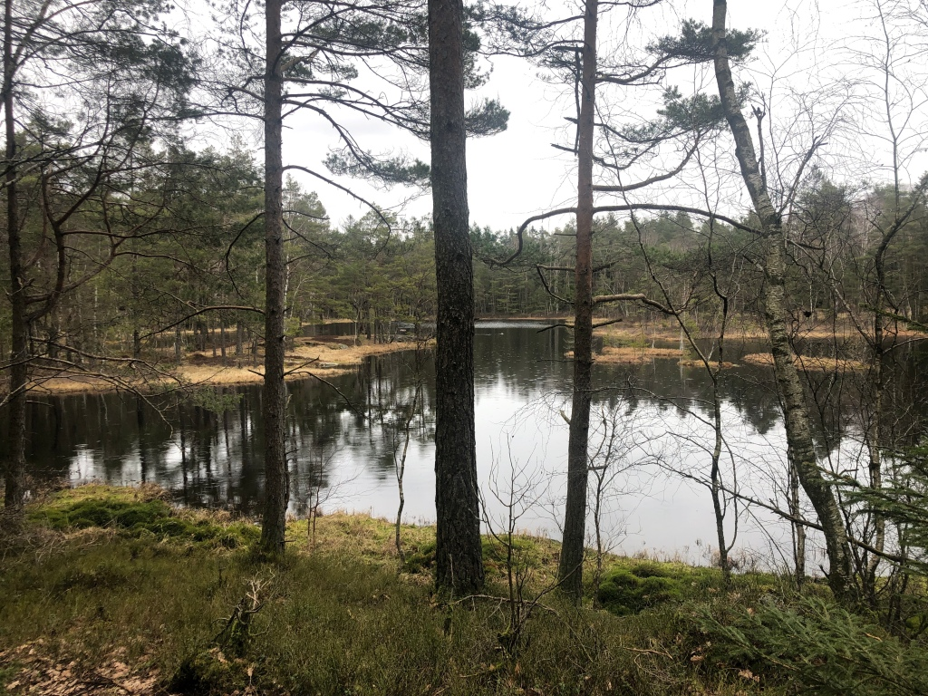 Lake in the rain. Surface of the lake mirrors the sky above. The lake has yellow islands made of reeds in it. Firs and birch are visible.